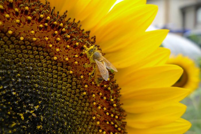ひまわり ミツバチ ひだ 高山 日之本元極