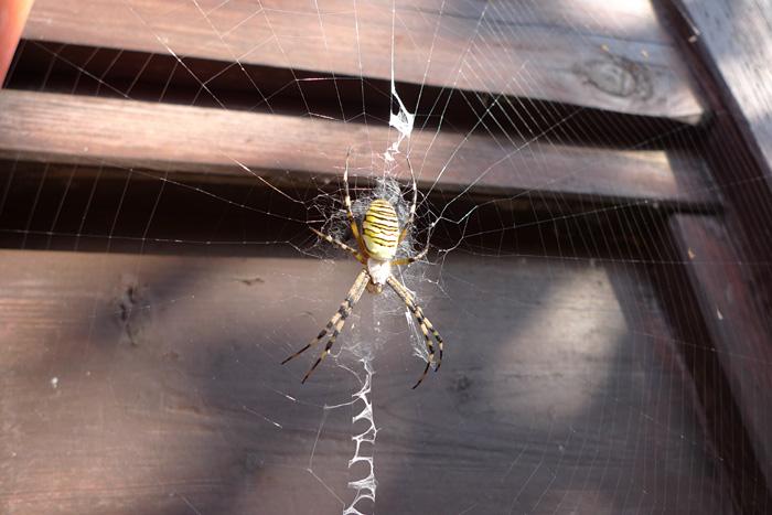 ハンター 蜘蛛 くも 日之本元極 飛騨 高山