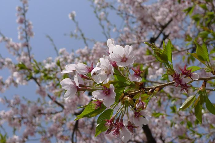 立夏 さくら 桜 ひだ 高山 日之本元極