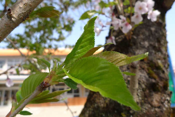 立夏 葉桜 はさくら 日之本元極