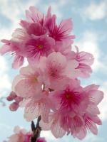 ヒカン桜が綺麗