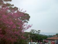 ヒカン桜と伊江島