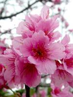曇りのアパート前桜