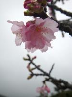 八重岳の桜001