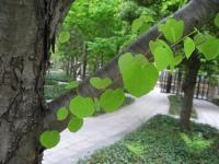 桂の葉はハート型