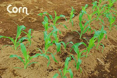 corn525