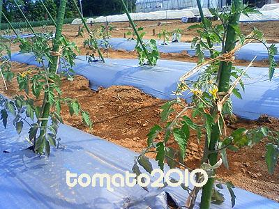 tomato2010
