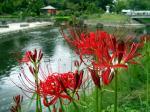 松川の彼岸花