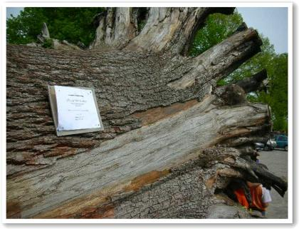 マリー・アントワネットの木?
