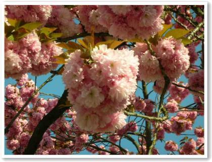 フランスの桜♪