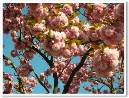 重そうな桜w