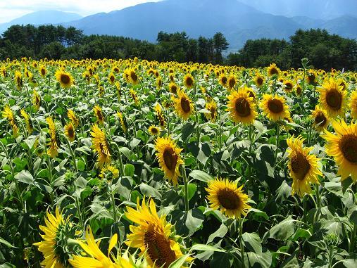 明野の向日葵たち