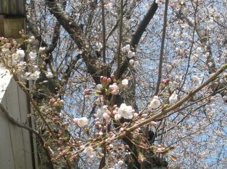 桜咲き始めました&我が家には。