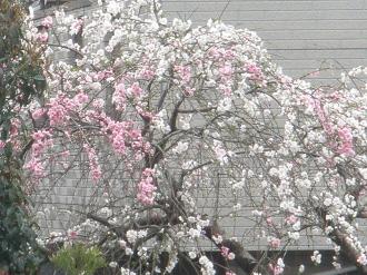 花嵐ですかね…第2段。