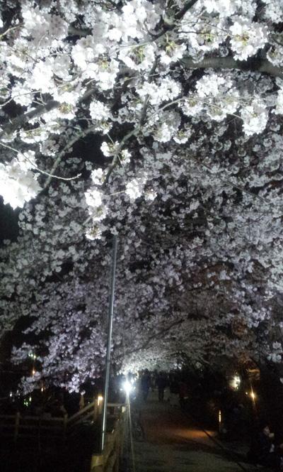 工房に桜、届きました。