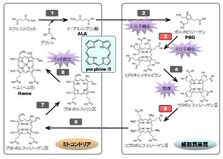 ポルフォビリノーゲンシンターゼ - Porphobilinogen synthase ...