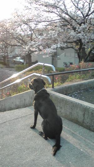しつこく桜。