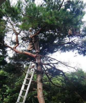 裏山松伐採