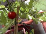 ミニトマト ベランダ菜園
