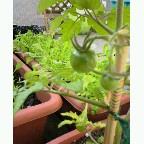 家庭菜園 トマト ベビーリーフ