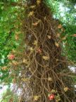 沙羅双樹2