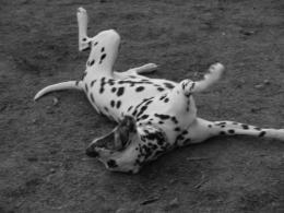 cleadog
