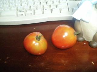 無農薬トマト!